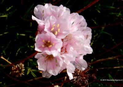 Armeria Pungens (sea rose)