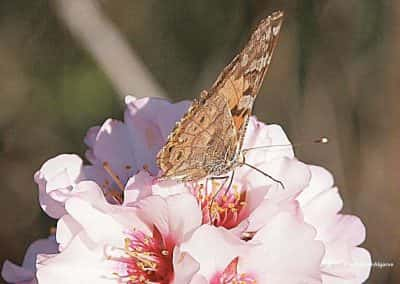 Wandelroute Tavira Amandelbloesem, vlinder