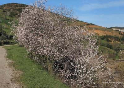 Wandelroute Tavira met bloeiende amandelbomen in februari