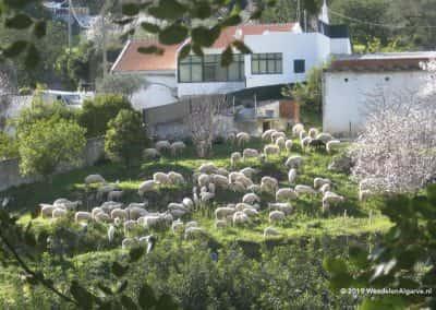 Gehuchten schapen- en geitenkuddes Estoi