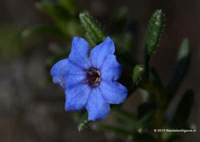 Flora van de Serra do Caldeirão, bloem Heavenly Blue
