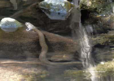 Aderringslang Meralva Rivier