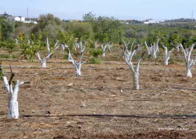 Sinaasappelgaard met wit gekalkte stammen bij Pechão wandelroute OLH PR6