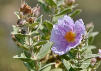 Flora Algarve Roselha maior