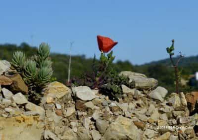 Flora Algarve Papaveraceae, Papaver, klaproos op roetmuur