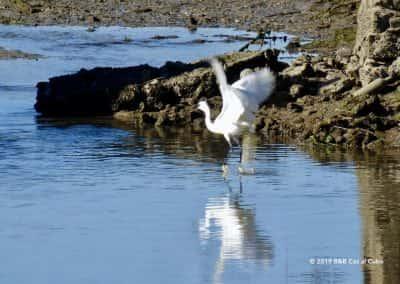 Vogels kijken Ria Formosa Fuzeta, kleine zilverreiger stijgt op