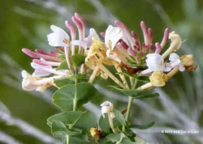 Flora van de Algarve, jasmijn bloem