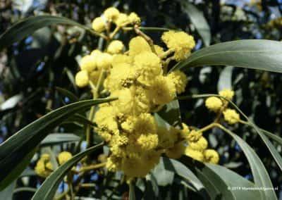 Lente in de Algarve met bloeiende mimosabomen