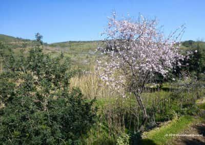 Winters heuvellandschap Zuid-Portugal met bloeiende amandelbomen