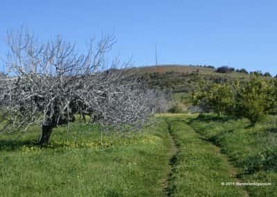 Vijgenboom met kale takken in groen grasveld, langs karrenspoor