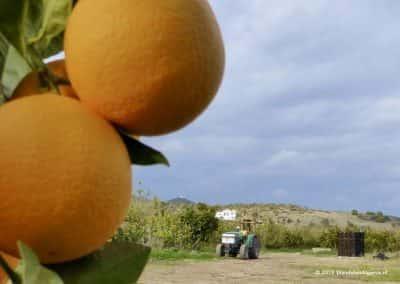Boer oogst zijn sinaasappels