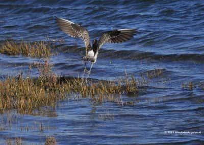 Vogelrijkdom Zoutpannen Tavira