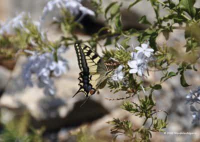 Spaanse koningspage op bloemen langs wandeling Aguas Frias