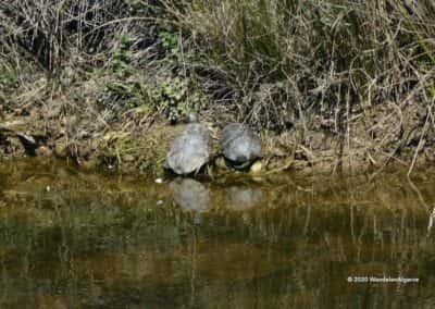 Moorse waterschildpadden (cagado mediterranico) in een riviertje langs wandeling LLE PR10