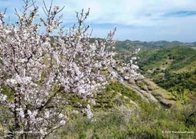 In het vroege voorjaar staan de amandelbomen op wandeling CTM PR8 volop in bloei