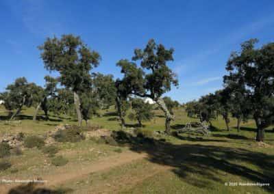 Kurkeiken langs rondwandeling LLE PR08 Vale da Rosa