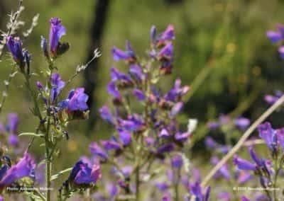 Typische bloemen van de Algarve op wandeling TAV PR6