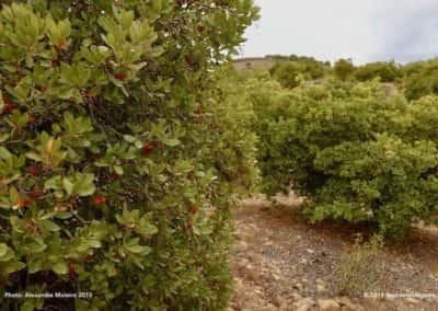 Medronho bomen op TAV PR2 Fonte da Zorra