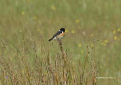 Roodborsttapuit zingt in het hoge gras op vogelwandeling LLE PR10