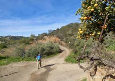 Langs het wandelpad in de heuvels zijn de druivenranken gesnoeid en de sinaasappels rijp.