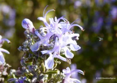 In de Algarve is de lucht bezwangerd met de geur van wilde kruiden zoals rozemarijn en tijm