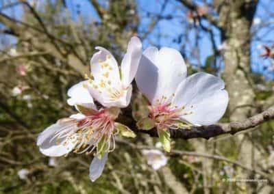 In februari bloeien langs alle wandelroutes de amandelbomen