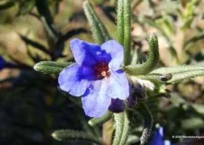 "Lithodora Prostata subsp. Lusitanica ook wel ""Heavenly Blue"" op wandelroute Algarve"