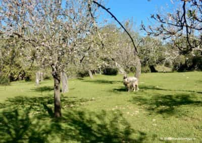 Twee schapen in een amandelboomgaard op wandeling Flores Primavera
