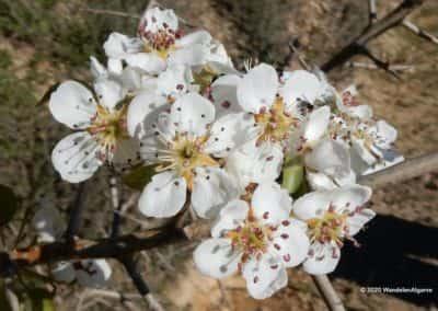 Wandelroute Flores Primavera met natuurgids Tavira Algarve - Iberische peer