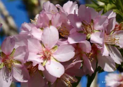 Wandelroute Flores Primavera amandelboomgaard Algarve