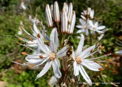 Asphodelus Ramosus - voorjaarsbloemen Barrocal Tavira